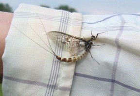 Picture: /blog-files/blog/w288/adult-mayfly.jpg