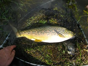 Picture: /blog-files/blog/w288/bourne-rivulet-wild-brown-trout.jpg