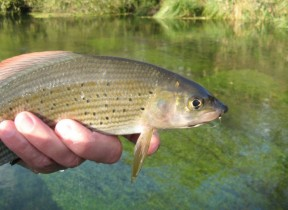 Picture: /blog-files/blog/w288/grayling.jpg