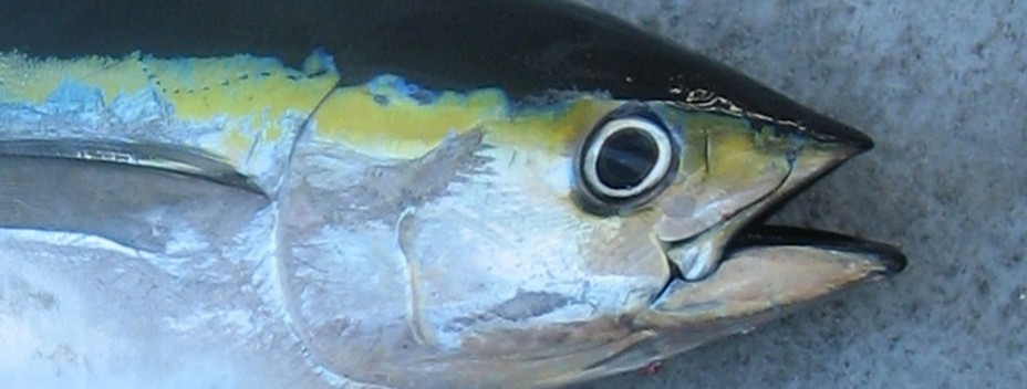 Cosmoledo yellow fin tuna
