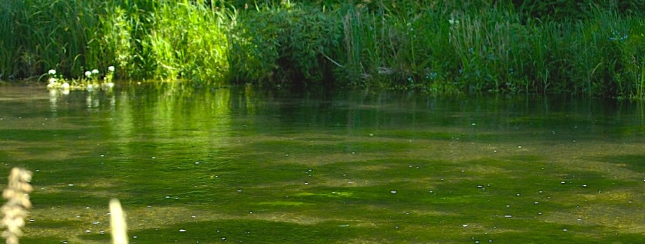 A healthy chalk stream