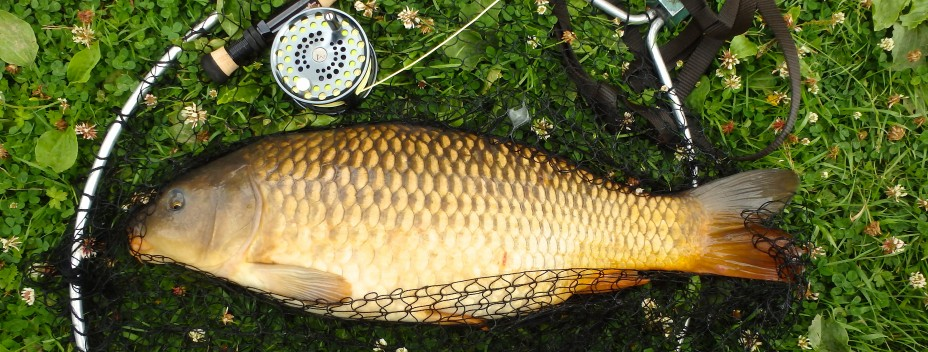 Common Carp caught on a fly