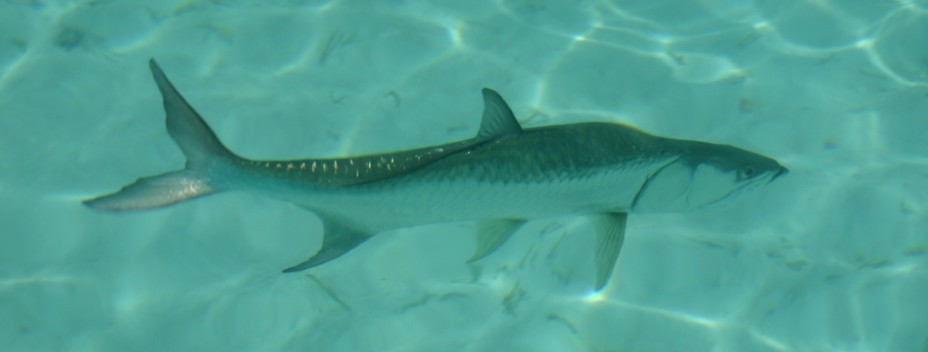 Big tarpon underwater