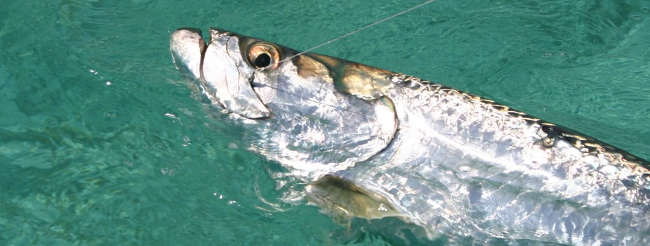 Big tarpon ready for release